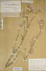 Carduus tenuiflorus herbarium specimen from Acle, VC27 East Norfolk in 1916 by Frederick Long.