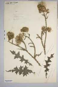 Carduus crispus herbarium specimen from King's Caple, VC36 Herefordshire in 1887 by Rev. Augustin Ley.