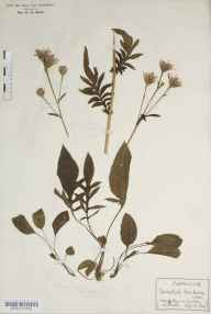 Serratula tinctoria herbarium specimen from Woody Bay, VC4 North Devon in 1901 by Rev Douglas Montague Heath.