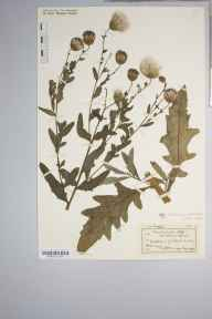 Cirsium arvense herbarium specimen from Guildford, VC17 Surrey in 1916 by J Comber.