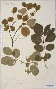 Lonicera xylosteum herbarium specimen from Patterdale, VC69 Westmorland in 1880 by Rev. Augustin Ley.