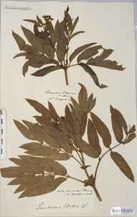Sambucus ebulus herbarium specimen from Howle Hill, VC36 Herefordshire in 1906 by Rev. Augustin Ley.