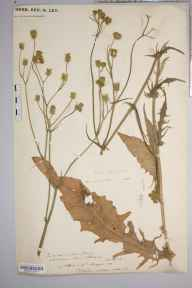 Crepis setosa herbarium specimen from Sellack, VC36 Herefordshire in 1889 by Rev. Augustin Ley.