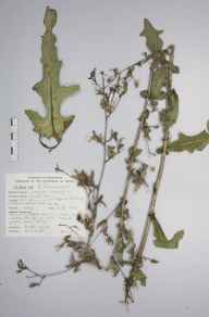 Lactuca serriola herbarium specimen from Edgbaston, Winterbourne Garden, VC38 Warwickshire in 1987 by Dr Richard Neville Lester.