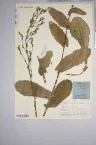 Lactuca virosa herbarium specimen from Southampton, VC11 South Hampshire in 1840 by Mr Thomas Clark.