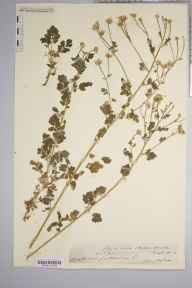 Chrysanthemum parthenium herbarium specimen from Downton, VC36 Herefordshire in 1883 by Rev. Augustin Ley.