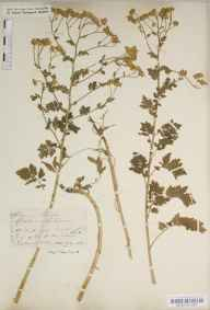 Chrysanthemum parthenium herbarium specimen from Millbrook, VC11 South Hampshire in 1840 by Mr Thomas Clark.