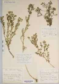 Matricaria discoidea herbarium specimen from Purley, VC17 Surrey in 1906 by Frederick Raine.