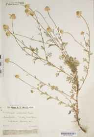 Anthemis arvensis herbarium specimen from Ashtead, Thirty Acre Barn, VC17 Surrey in 1929 by Mr Edward Charles Wallace.