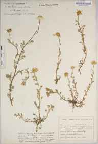 Chamaemelum nobile herbarium specimen from Rake, VC13 West Sussex in 1935 by Mr Edward Charles Wallace.