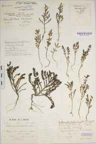 Salicornia pusilla herbarium specimen from North Hayling, VC11 South Hampshire in 1933 by Mr Patrick Martin Hall.