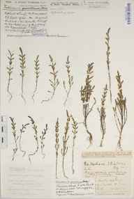 Salicornia ramosissima herbarium specimen from Brading Harbour, VC10 Isle of Wight in 1916 by Mr William Charles Barton.