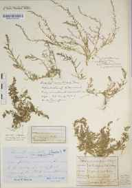 Suaeda maritima herbarium specimen from Bideford, VC4 North Devon in 1850 by George Maw.