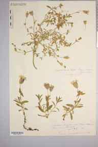 Silene uniflora herbarium specimen from Brecon Beacons, VC42 Breconshire in 1883 by Rev. Augustin Ley.