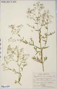 Gypsophila paniculata herbarium specimen from Kingswood, VC34 West Gloucestershire in 1892 by Mr James Walter White.