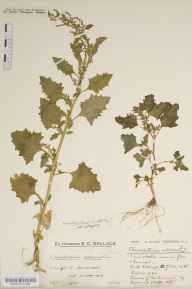 Chenopodium urbicum herbarium specimen from Southease, VC14 East Sussex in 1933 by Mr Edward Charles Wallace.