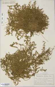 Herniaria ciliolata herbarium specimen from Lizard, VC1 West Cornwall in 1886 by Mr Charles Bailey.