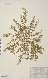 Herniaria glabra herbarium specimen from Risby Poor's Heath, VC26 West Suffolk in 1895 by William West.