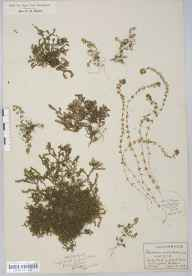 Illecebrum verticillatum herbarium specimen from New Forest, VC11 South Hampshire in 1925 by Mr John Frederick Rayner.