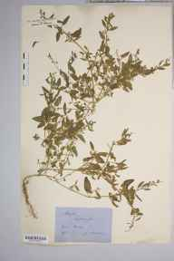 Atriplex patula herbarium specimen from Kew, VC17 Surrey in 1878 by Mr George Nicholson.