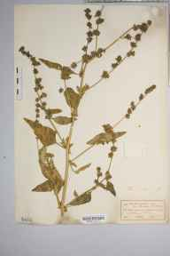 Atriplex patula herbarium specimen from Godalming, VC17 Surrey in 1915 by J Comber.