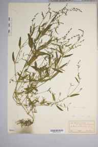 Atriplex patula herbarium specimen from Guildford, VC17 Surrey in 1916 by J Comber.