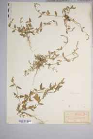 Atriplex patula herbarium specimen from Hayling Island, VC11 South Hampshire in 1912 by J Comber.