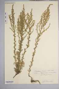 Artemisia  herbarium specimen from Lydbrook, VC34 West Gloucestershire in 1892 by Rev. Augustin Ley.