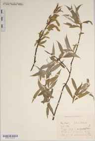 Salix alba var. caerulea herbarium specimen from Saint Ippolyts, VC20 Hertfordshire in 1921 by Mr Joseph Edward Little.