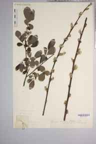 Salix cinerea subsp. oleifolia herbarium specimen from Dinmore, VC36 Herefordshire in 1887 by Rev. Augustin Ley.