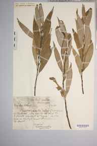 Salix fragilis var. britannicum herbarium specimen from Huntingdon, VC31 Huntingdonshire in 1908 by Edward Walter Hunnybun.