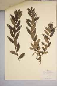 Salix triandra herbarium specimen from Aberclydach, VC42 Breconshire in 1900 by Rev. Augustin Ley.