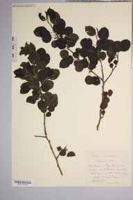 Pyrus cordata herbarium specimen from Penyard Park, VC36 Herefordshire in 1902 by Rev. Augustin Ley.
