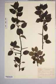 Pyrus cordata herbarium specimen from Great Doward, VC36 Herefordshire in 1902 by Rev. Augustin Ley.