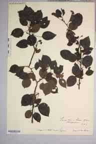 Pyrus cordata herbarium specimen from Bishop's Wood, VC36 Herefordshire in 1907 by Rev. Augustin Ley.