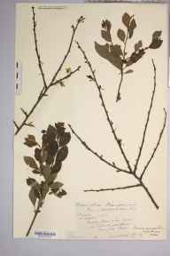 Prunus spinosa x domestica = P. x fruticans herbarium specimen from Strangford, VC36 Herefordshire in 1888 by Rev. Augustin Ley.