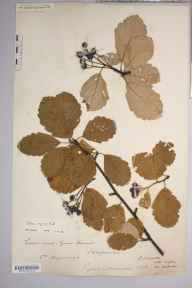 Sorbus anglica herbarium specimen from Lord's Wood, VC36 Herefordshire in 1896 by Rev. Augustin Ley.