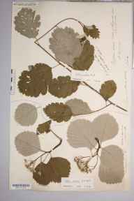 Sorbus anglica herbarium specimen from Symonds Yat, VC36 Herefordshire in 1890 by Rev. Augustin Ley.