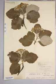 Sorbus aria herbarium specimen from Cheddar Gorge, VC6 North Somerset in 1902 by Rev. Augustin Ley.