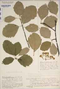 Sorbus bristoliensis herbarium specimen from Leigh Woods, VC6 North Somerset in 1936 by Mr Harold Stuart Thompson.