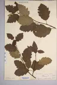 Sorbus intermedia herbarium specimen from Stainforth, VC64 Mid-west Yorkshire in 1903.