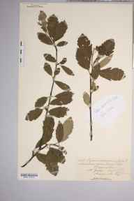 Sorbus minima herbarium specimen from Craig Cille, VC42 Breconshire in 1893 by Rev. Augustin Ley.
