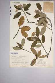 Sorbus minima herbarium specimen from Craig Cille, VC42 Breconshire in 1896 by Rev. Augustin Ley.