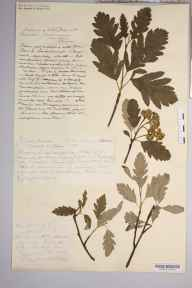 Sorbus pseudofennica herbarium specimen from Glen Iorsa, VC100 Clyde Islands in 1897 by Rev. Augustin Ley.