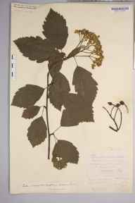Sorbus subcuneata herbarium specimen from Minehead, VC5 South Somerset in 1906 by Rev. Augustin Ley.