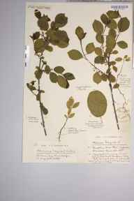 Frangula alnus herbarium specimen from Sharpham Moor Plot, VC6 North Somerset in 1923 by Mr Harold Stuart Thompson.