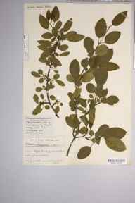 Rhamnus cathartica herbarium specimen from Clifton Down, VC34 West Gloucestershire in 1915 by Mr Harold Stuart Thompson.