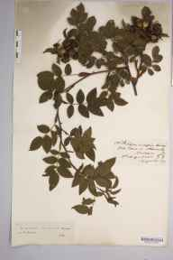 Rosa insignis herbarium specimen from Aldwincle, VC32 Northamptonshire in 1910 by Rev. Augustin Ley.