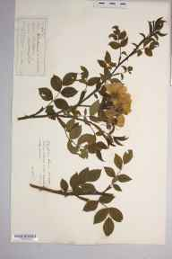 Rosa insignis herbarium specimen from Malvern Link, VC37 Worcestershire in 1880 by Mr Richard Francis Towndrow.