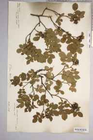 Rosa trichoneura herbarium specimen from Bringsty Common, VC36 Herefordshire in 1908 by Rev. Augustin Ley.
